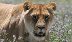 © ADI Lion Ark lions_250x145
